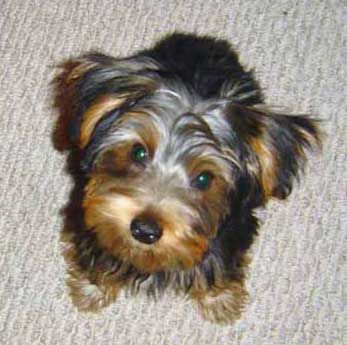 Yorkie Haircut Pictures http://yorkshire-terrier-haircut.wikidot.com/